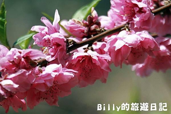 馬祖東莒-桃花20.JPG