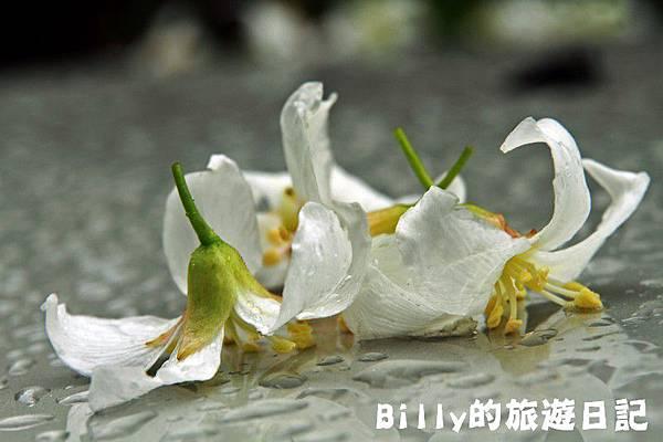 基隆暖暖桐花26.JPG