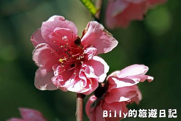 馬祖東莒-桃花21.JPG