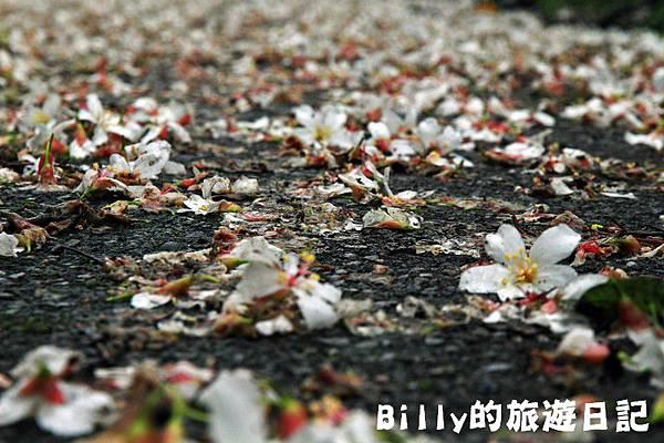 基隆暖暖桐花19.JPG