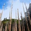 柳杉枯木群高高聳立