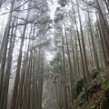 周圍杉樹林立的阿里山森鐵