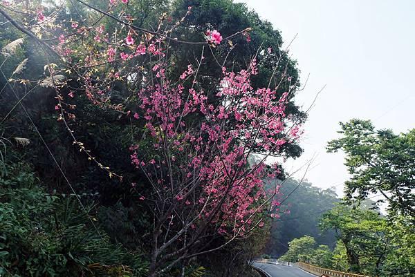 霧台公路櫻花