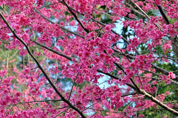 霧台山櫻花