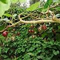 生長在樹上的樹番茄