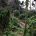 山林中的阿里山鐵路