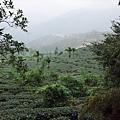 一枝杉一帶的茶園