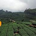放眼望去一片綠油油的茶樹