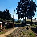鐵道旁的百年台灣肖楠