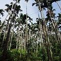 獨立山上常見成群的檳榔樹