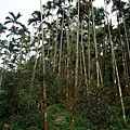 檳榔樹與古道