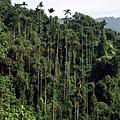 獨立山的檳榔樹竟然可以長那麼高……