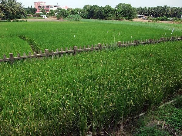 嘉油鐵馬道旁稻田中的鐵路柵欄