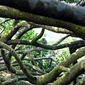 樹林間發現台灣獼猴