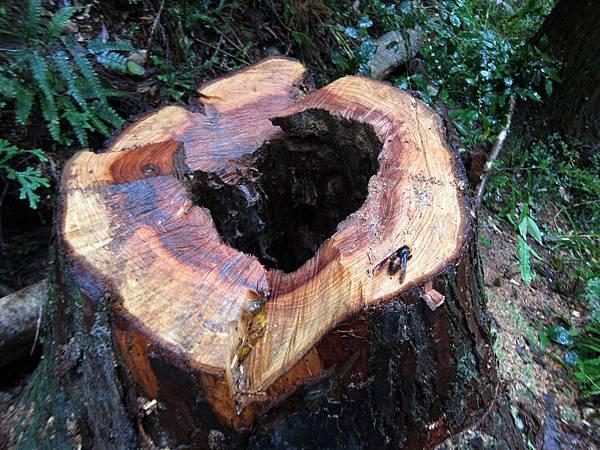 樹洞中的虎頭蜂巢已摘除