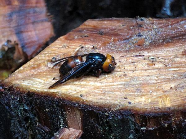 中華大虎頭蜂