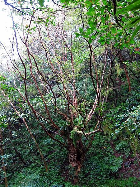遇外觀奇特的大樹