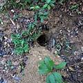 穿山甲挖掘的洞穴