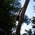 螞蟻窩掛在樹上