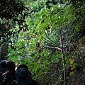 台灣南部山區常見危險植物:咬人狗