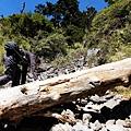 巨杉橫亙石瀑