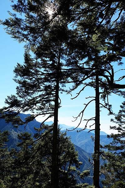 沿途杉樹聳立