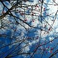 櫻花盛開的季節