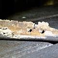枯竹上有螢光菇