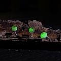 發光小菇,攝影特寫
