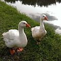 靜思湖畔鴨夫妻散步