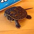即將成為靜思湖一員的小烏龜