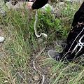 草叢中發現蛇類遺留蛻皮