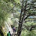 行經鐵杉樹下