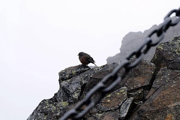 強風峻嶺之中遇見金翼白眉
