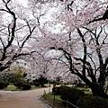 西之丸庭園賞櫻風景