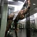 像鴕鳥的巨型絕種鳥類-恐鳥(Moa)遺骨