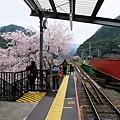 龜岡車站月台櫻花