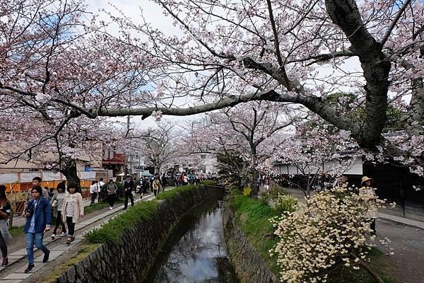 櫻花下的疏水道