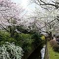 水圳與櫻花