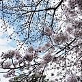 天空下的櫻花