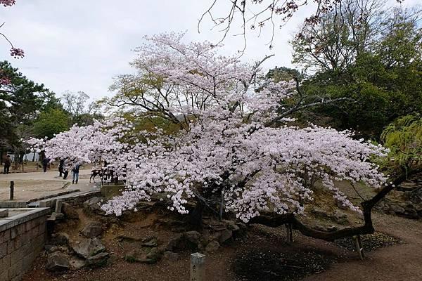 大華嚴寺外圍櫻花盛開