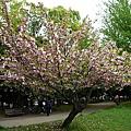 清澄公園櫻花樹