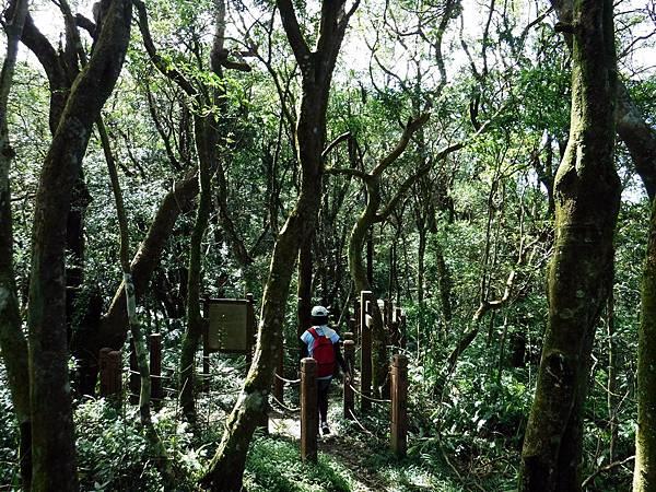 攀上平緩稜線入樟樹林