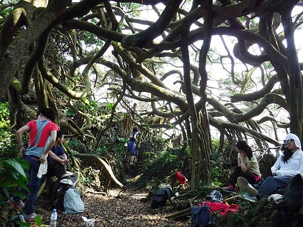 九龍榕樹下的悠閒時光