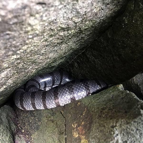在石縫中睡覺的海蛇