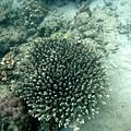 團棘狀的珊瑚