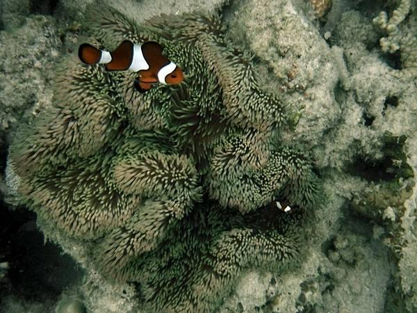 小丑魚與海葵共生