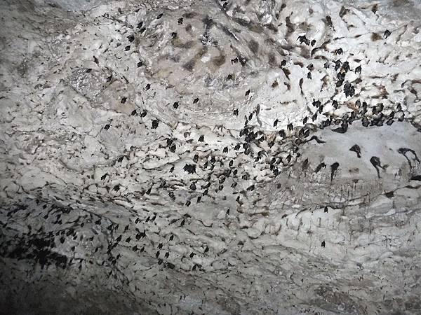 大量蝙蝠棲息