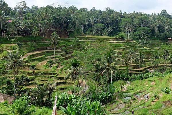 印尼峇里島德哥拉朗梯田