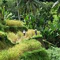 農忙收割水稻